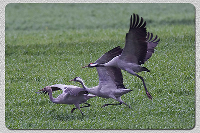 Grou (Grus grus). Em Espanha, perto da fronteira portuguesa. Crane, taking flight. Spain, near the Portuguese border.