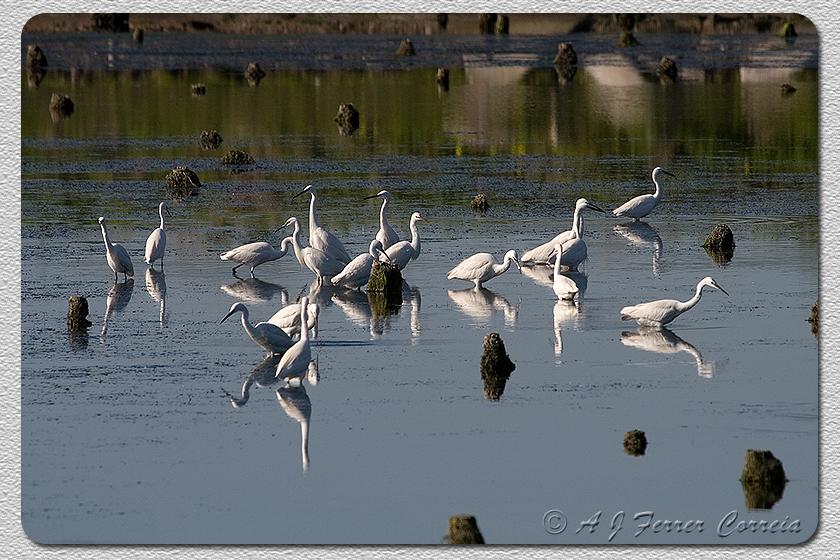 Pequeno grupo de Garças-brancas pequenas (Egretta garzetta) na Ria de Aveiro Small flock of Little Egrets in the mudflats of the Aveiro Lagoon
