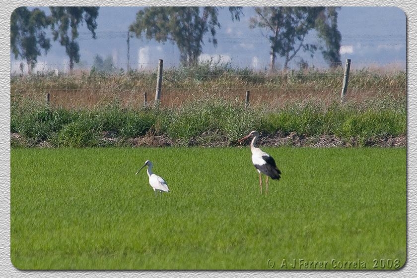 Colhereiro (Platalea leucorodia) e Cegonha Branca (Ciconia ciconia) Spoonbill and White Stork