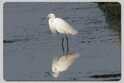 Garça-branca-pequena (Egretta garzetta) - Ria de Aveiro Little Egret - Aveiro Lagoon