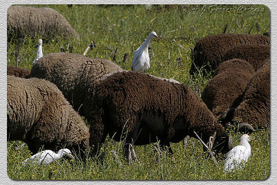 Garça-boieira (plumagem de Verão) - Bubulcus ibis Cattle Egret (summer plumage)