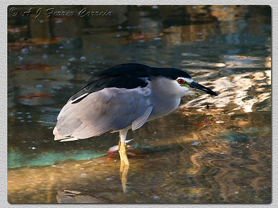 Goraz - Nycticorax nycticorax Black Crowned Night Heron