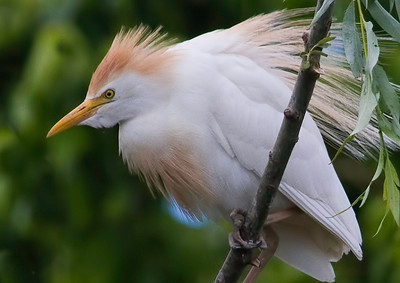 Garça-boieira (Bubulcus ibis) - plumagem nupcial Cattle Egret - breeding plumage