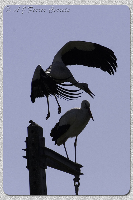 Cegonha-branca - Ciconia ciconia (Murtosa) White Stork
