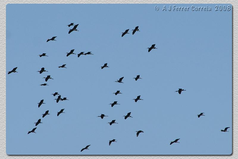 Íbis-preto, Plegadis falcinellus (campos do estuário do Tejo) Glossy Ibis (River Tagus estuary fields)