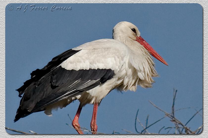 Cegonha-branca - Ciconia ciconia (Murtosa) White Stork (Murtosa, near Aveiro)