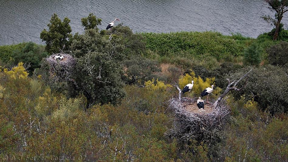 Ninhos de Cegonha-branca  (Fronteira, Alentejo) White Stork nests in Fonteira, Alentejo (Southern Portugal)