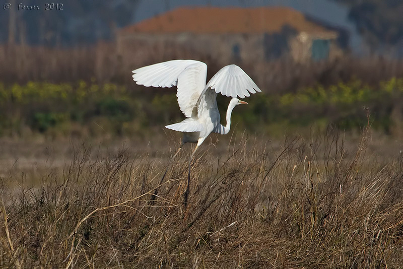 Garça-branca-grande - Egretta alba (a levantar voo) Great White Egret (taking off)