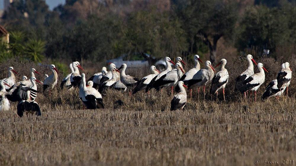 Cegonha-branca - Ciconia ciconia (parte de um bando de mais de 150 aves, perto do Guadiana e de Elvas) White Stork - More than 150 birds, cultivated fields near the river Guadiana, Elvas