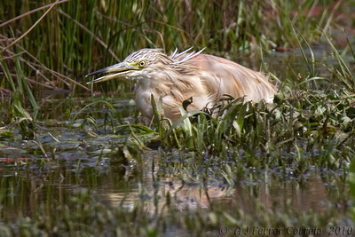 Papa-ratos - Ardeola ralloides Squacco Heron