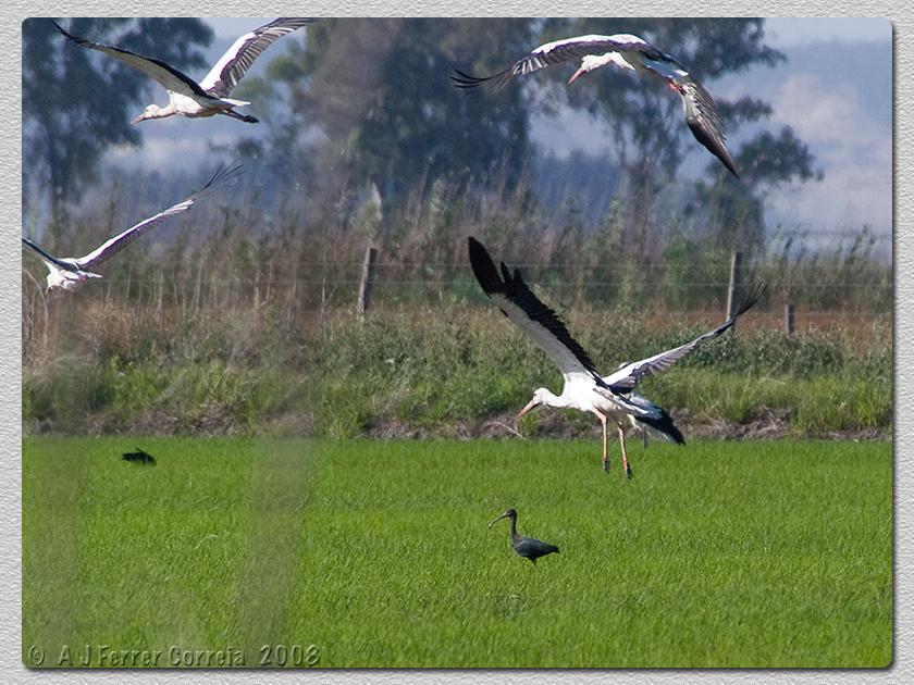 Íbis Preto (Plegadis falcinellus) e Cegonha Branca (Ciconia ciconia) Glossy Ibis and White Stork