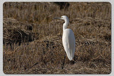 Garça-branca-pequena (Egretta garzetta) - perto de Elvas Little Egret -near Elvas