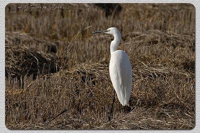Garça-branca-pequena (Egretta garzetta) - perto de Elvas Little Egret -near Elvas