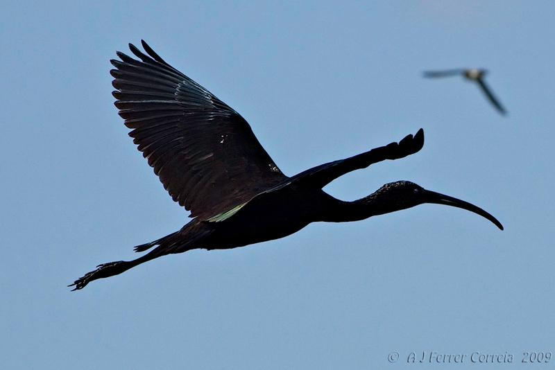 Íbis-preto (Plegadis falcinellus) - campos do estuário do Tejo Glossy Ibis - River Tagus estuary fields