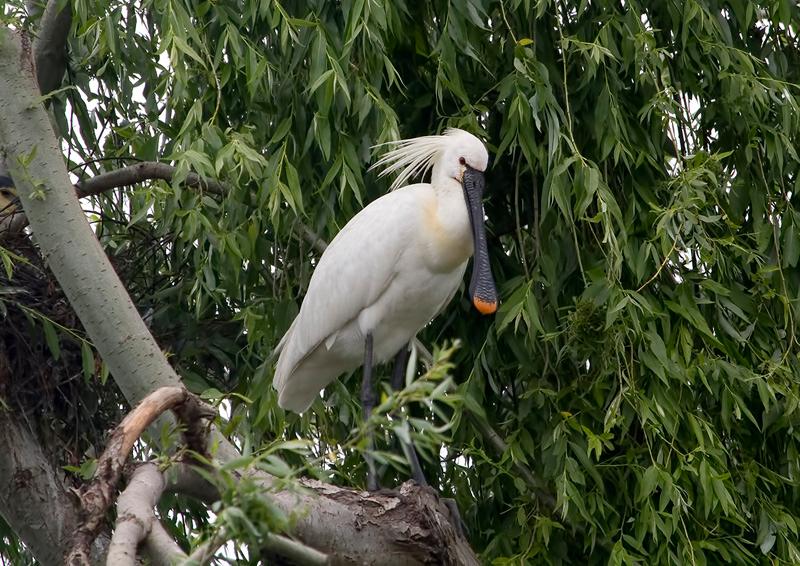 Colhereiro (Platalea leucorodia) - plumagem nupcial e bico amarelo Spoonbill - breeding plumage and yellow tip of bill