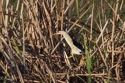 Garçote, adulto em plumagem de verão (Ixobrychus minutus) Little Bittern, adult in breeding plumage