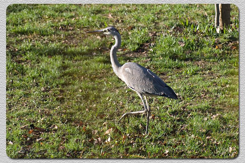 Garça-real, juvenil (Ardea cinerea) Grey Heron, juvenile