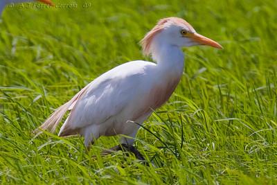 Garça-boieira (Bubulcus ibis) - plumagem nupcial, estuário do Sado Cattle Egret - breeding plumage, river Sado estuary