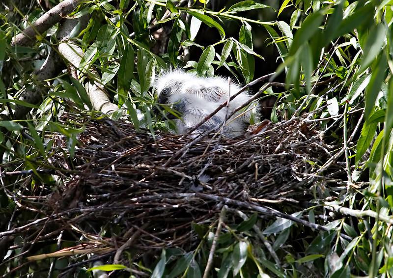 """Garça-boieira (Bubulcus ibis) - ninho com dois """"pintos"""" Cattle Egret - nest with two chicks"""