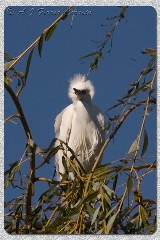 Garça-branca pequena - Egretta garzetta Little Egret