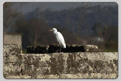 Garça-boieira (Bubulcus ibis) - plumagem de Inverno Cattle Egret - winter plumage