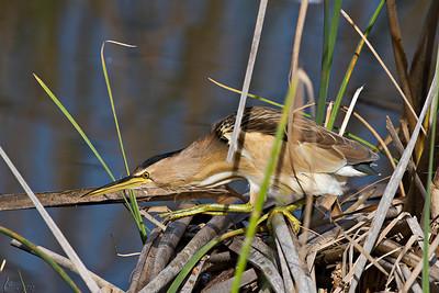 Garçote, juvenil (Ixobrychus minutus) Little Bittern, juvenile