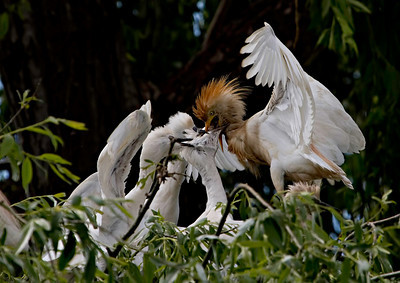 Garça-boieira (Bubulcus ibis) - adulto a alimentar crias Cattle Egret - adult feeding the young