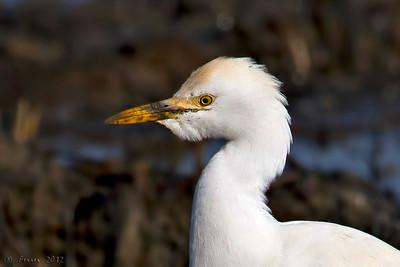 Garça-boieira (Bubulcus ibis) - inverno, estuário do Tejo Cattle Egret - winter plumage, river Tejo estuary