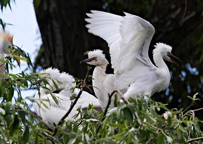 Garça-boieira (Bubulcus ibis) - juvenis ainda no ninho Cattle Egret - fledgelings in the nest