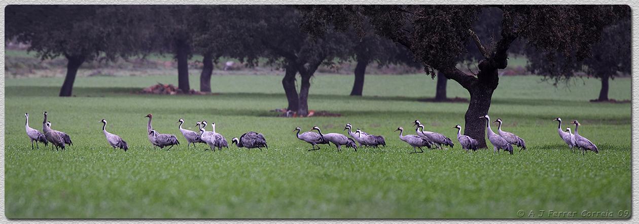 Grou (Grus grus). Zona de alimentação (montado) no final do Inverno. Em Espanha, perto da fronteira portuguesa. Fock of Crane. Feeding area, end of Winter. Spain, near the Portuguese border.