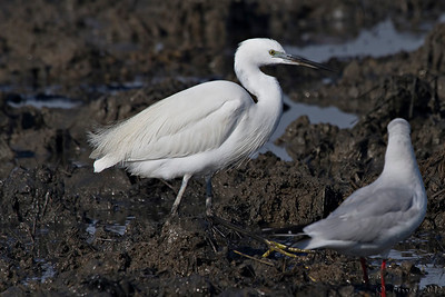 Garça-branca-pequena - Egretta garzetta Little Egret