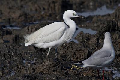 Garça-branca-pequena - Egretta garzetta Little Egret