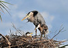 Great Blue Herons with Chicks<br /> Viera Wetlands<br /> Melbourne, Florida<br /> 134-3882b