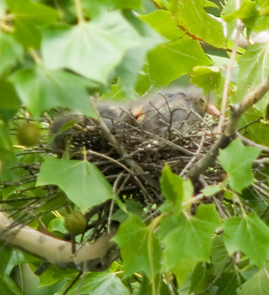 Green Heron <br /> <br /> Nestlings!  July 22, 2008