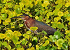 Green Heron<br /> Viera Wetlands<br /> Melbourne, Florida<br /> 122-0681a