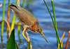 Green Heron<br /> Viera Wetlands<br /> Melbourne, Florida<br /> 116-9847c