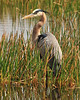 Great Blue Heron<br /> Viera Wetlands<br /> Melbourne, Florida<br /> 126-1929a