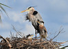 Great Blue Herons with Chicks<br /> Viera Wetlands<br /> Melbourne, Florida<br /> 134-3899b