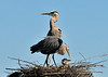Great Blue Herons with Chicks<br /> Viera Wetlands<br /> Melbourne, Florida<br /> 132-2691a