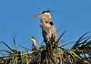 Great Blue Herons with Chicks<br /> Viera Wetlands<br /> Melbourne, Florida<br /> 132-2838a
