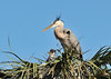 Great Blue Herons with Chicks<br /> Viera Wetlands<br /> Melbourne, Florida<br /> 132-2773a