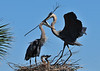 Great Blue Herons with Chicks<br /> Viera Wetlands<br /> Melbourne, Florida<br /> 132-2809a