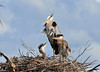 Great Blue Herons with Chicks<br /> Viera Wetlands<br /> Melbourne, Florida<br /> 134-3930b