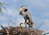 Great Blue Herons with Chicks<br /> Viera Wetlands<br /> Melbourne, Florida<br /> 134-3917b