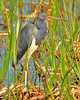 Tri-color Heron<br /> Viera Wetlands<br /> Melbourne, Florida<br /> 126-1998a