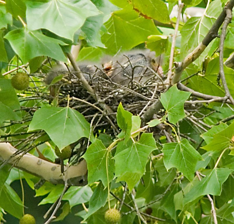 Green Heron <br /> <br /> Nestlings!  July 22, 2008