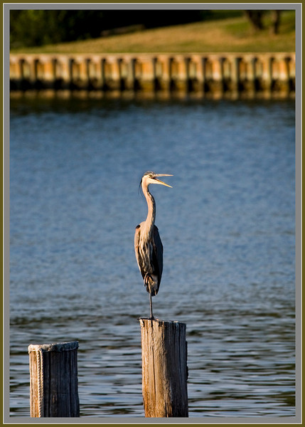 A Cooperative Great Blue Heron ... I think it is saying it will work for food.
