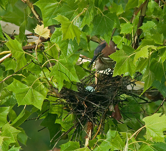 Green Heron <br /> <br /> Mother over nest with egg