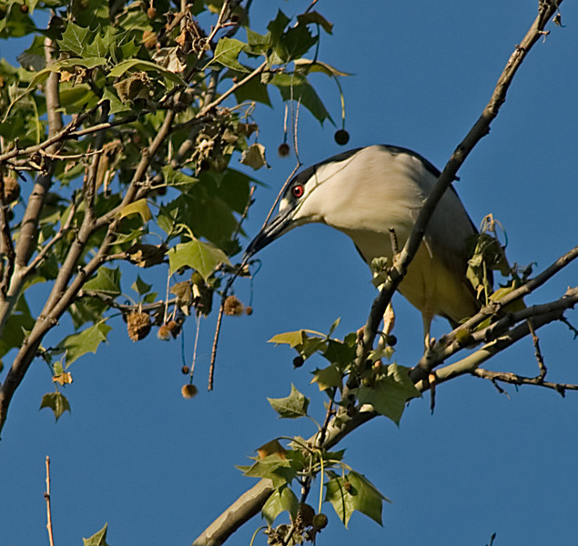 Black-Crowned Night Heron<br /> <br /> Gathering twigs for the nest.