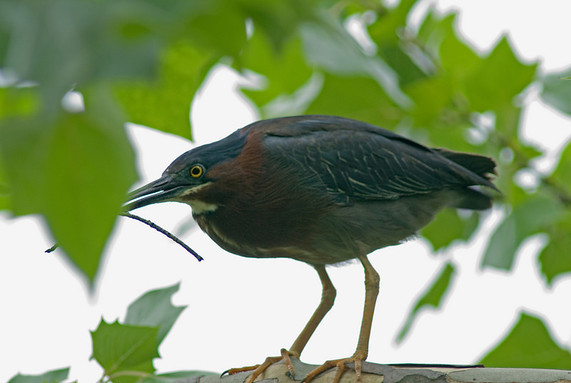 Green Heron<br /> <br /> Male bringing the final touches for the new nest.